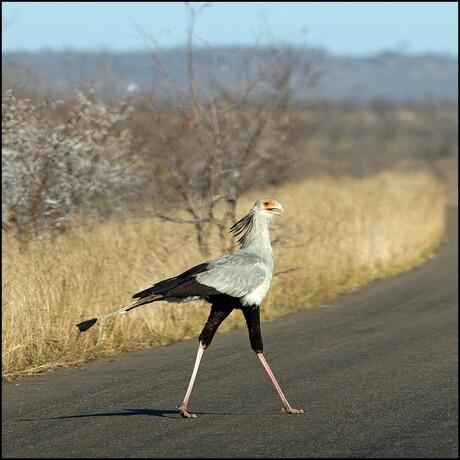 Sekretarisvogel