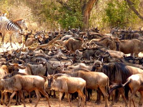 Gnoes in de Serengeti