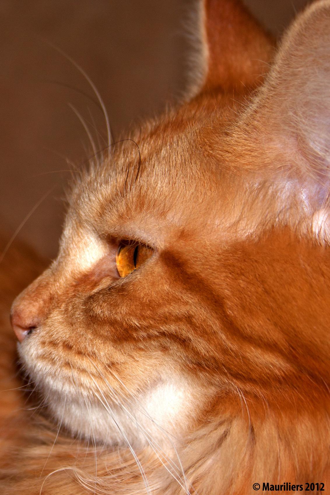 My brown eyed girl - Ginny ..... - foto door Mauriliers op 01-01-2013 - deze foto bevat: dieren, katten, maine coon