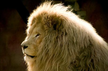 witte leeuw Olmense Zoo