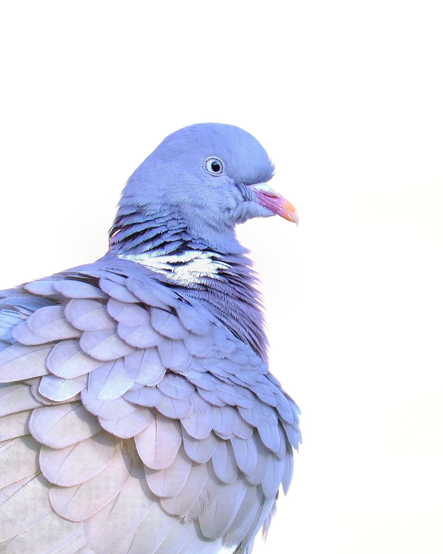 Ook 'gewone' vogels zijn zo mooi! - In coronatijd mis ik het reizen, al is dat natuurlijk veel beter voor het milieu. Bovendien prikkelt het tot fotografie dicht bij huis. Deze houtduif - foto door KeesBastmeijer op 14-04-2021 - locatie: Tilburg, Nederland - deze foto bevat: vogel, bek, voorraad waar, veer, water, rock waar, natuurlijk materiaal, vleugel, elektrisch blauw, beeldhouwwerk