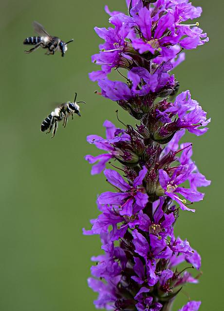 beide bijen