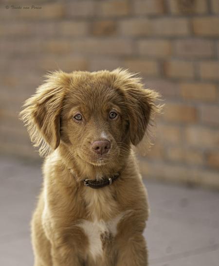 Nala - Dankbaar fotomodelletje om mijn nieuwe camera uit te proberen. Mocht oppassen op de puppy van mijn dochter.  Het is een Toller van 3,5 maand oud. Eve - foto door TinekevanPersie op 11-04-2021 - deze foto bevat: toller, honden, van persie, portret, hond, carnivoor, lever, hondenras, metgezel hond, fawn, snuit, bakkebaarden, vacht, terrestrische dieren