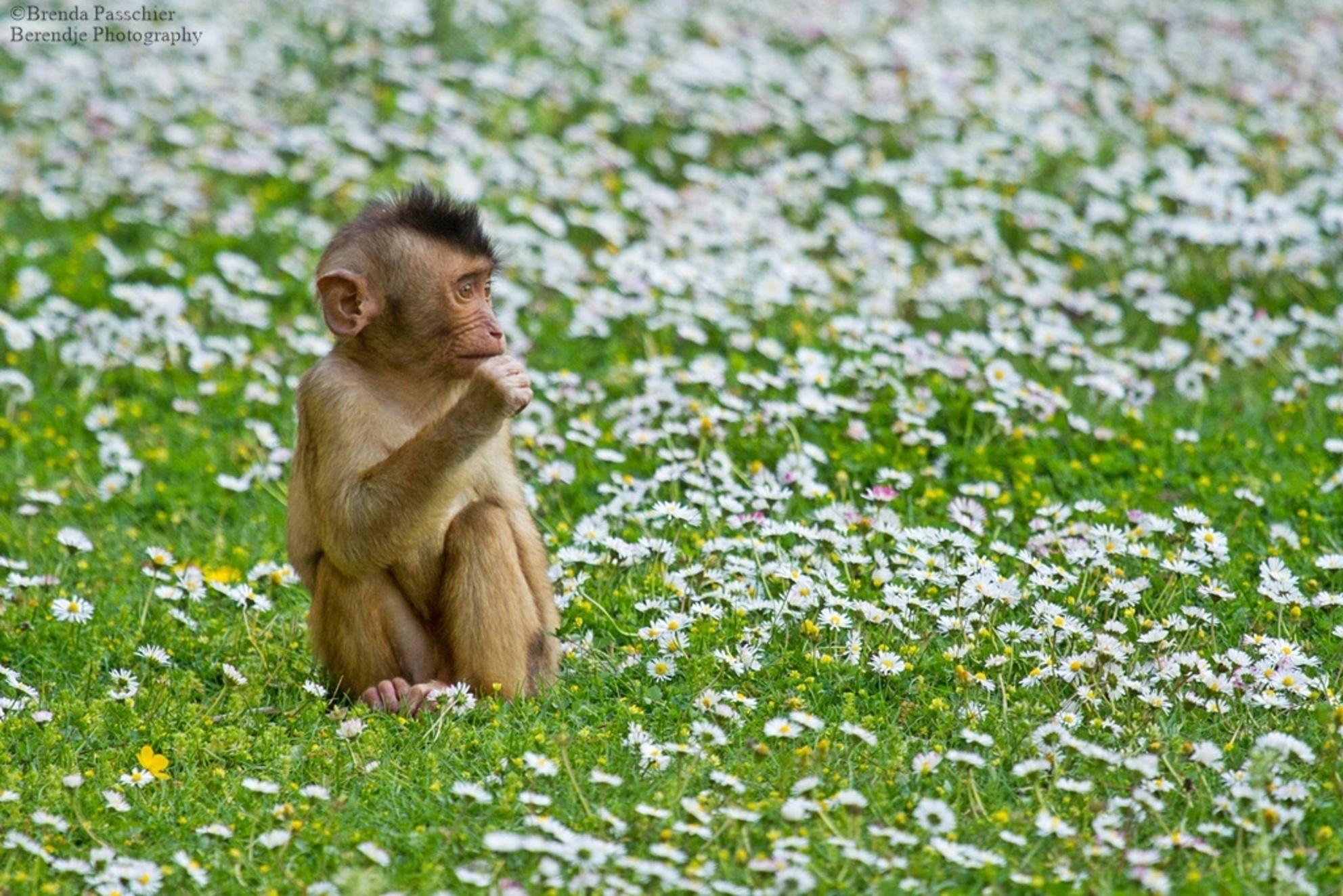 Genieten - Deze jonge Laponder aap geniet van het mooie weer tussen de madeliefjes. - foto door berendje_zoom op 14-05-2015 - deze foto bevat: dierentuin, natuur, dieren, safari, aap, afrika - Deze foto mag gebruikt worden in een Zoom.nl publicatie