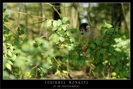HB Squirrel Monkey