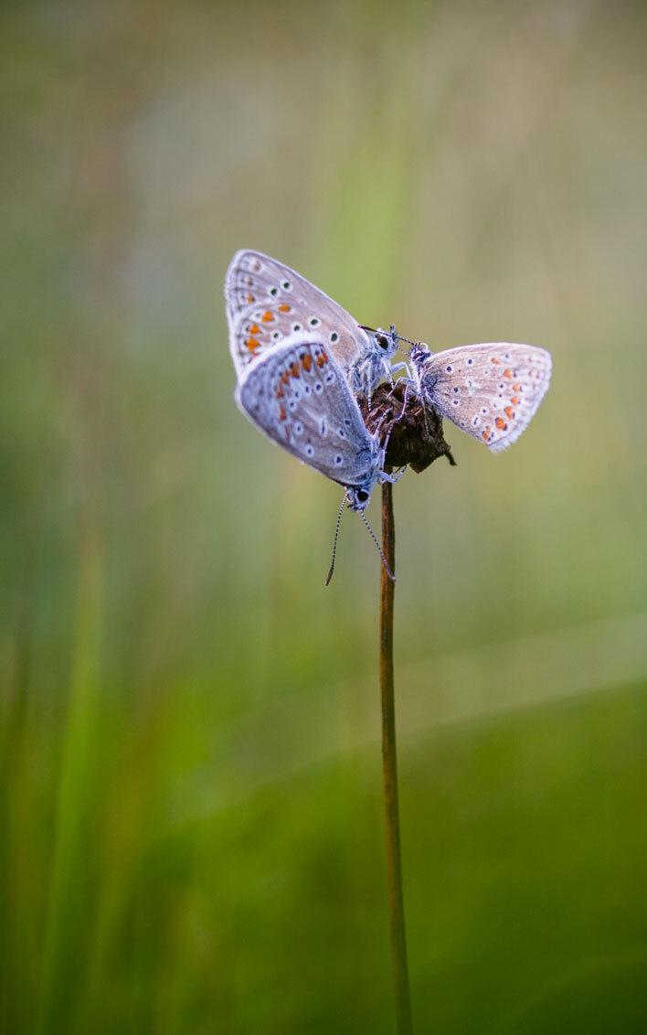 Kijk hem nou....Uitslover. - Het was weer een gezellige met mooi weer beladen zoomdag,heel veel blauwtjes gezien, eerst kon ik ze niet vinden maar dankzij de ervaren zoomers kon  - foto door peacefull op 26-07-2015 - deze foto bevat: macro, natuur, vlinder, blauwtje, icarusblauwtje, zoomdag, insect, drie, appelzak