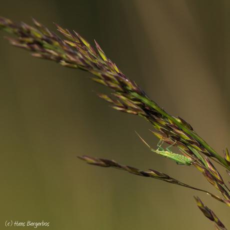 Minuscule sprinkhaan in het gras