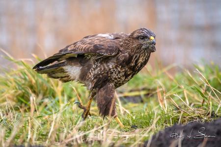 buizerd - - - foto door AndyvdSteen op 28-02-2021 - deze foto bevat: natuur, dieren, vogel, buizerd, wildlife