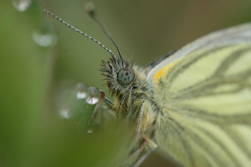 Geaderd Witje - Een macro van het geaderd witje zijn kopje tussen het groen met dauwdruppels. groeten, Bert - foto door b.neeleman op 29-03-2015 - deze foto bevat: macro, vlinder, druppel, witje, geaderdwitje