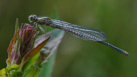 Fresh dragonfly