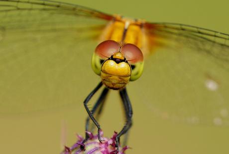 vooraanzicht steenrode heidelibel