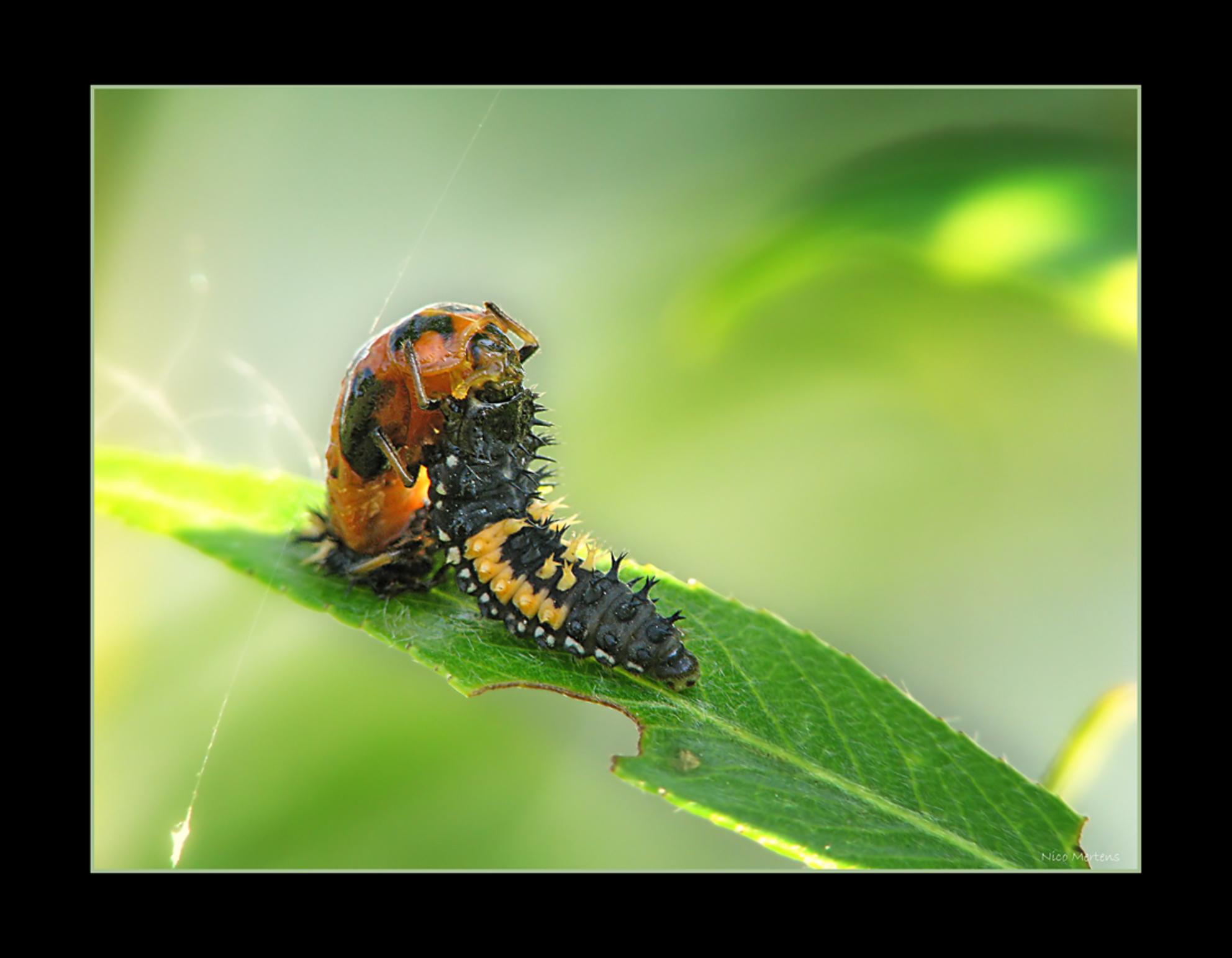 Innige Omhelsing!! - Hallo... wat een vreemd tafereeltje is dit...ik heb absoluut geen idee wat deze 2 aan het doen zijn... dat lelijke zwarte diertje is volgens mij de - foto door smeagol op 03-06-2009 - deze foto bevat: macro, lieveheersbeestje, larve, s5, smeagol, 250d