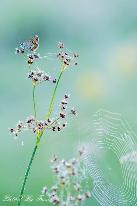 Alles moest erop. - Het spinnenweb in de dauw wilde ik ook graag in de foto. Net zoals de vlinder met teek op het oog. De spin moest ik wel even zoeken, maar zijn poeper - foto door Francis-Dost op 11-07-2018 - deze foto bevat: macro, bloem, natuur, vlinder, druppel, zomer, insect, dauw, dof, bokeh