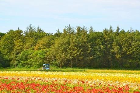 Bloemenveld Texel
