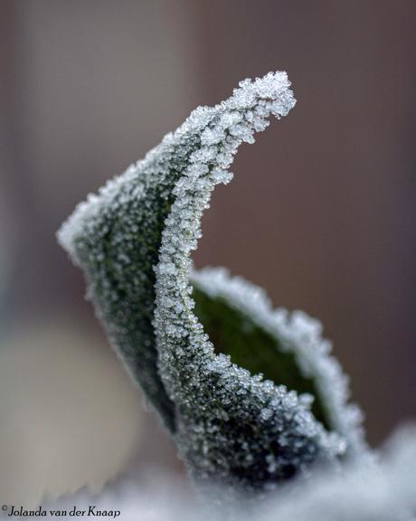 Rijp blad heester Sneeuwbal