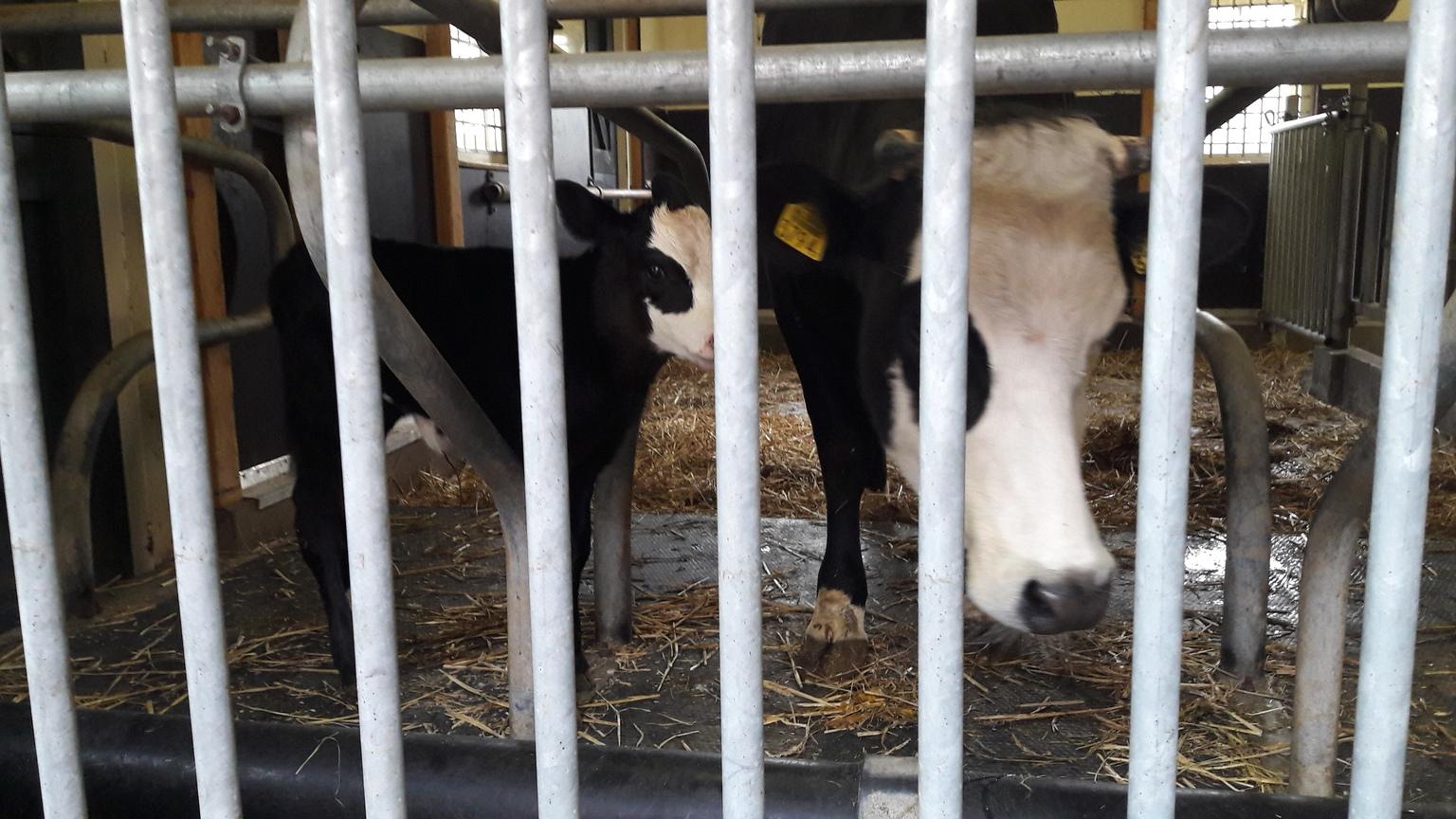 ik zie je wel - de hele stal voor jezelf en je kind, de andere 2 koeien staan in het veld, vooral de eerste dagen weken volgt het kalf de moeder overal. en  bij ons  - foto door RolandvanTol op 15-04-2021 - locatie: Burgemeester Bruins Slotsingel 11, 2403 NC Alphen aan den Rijn, Nederland - deze foto bevat: kalf, koe, jong, hek, stal, nieuwsgierig, wit, werkend dier, lijn, fawn, hek, dierenbenodigdheden, terrestrische dieren, snuit, vee, onderhoud