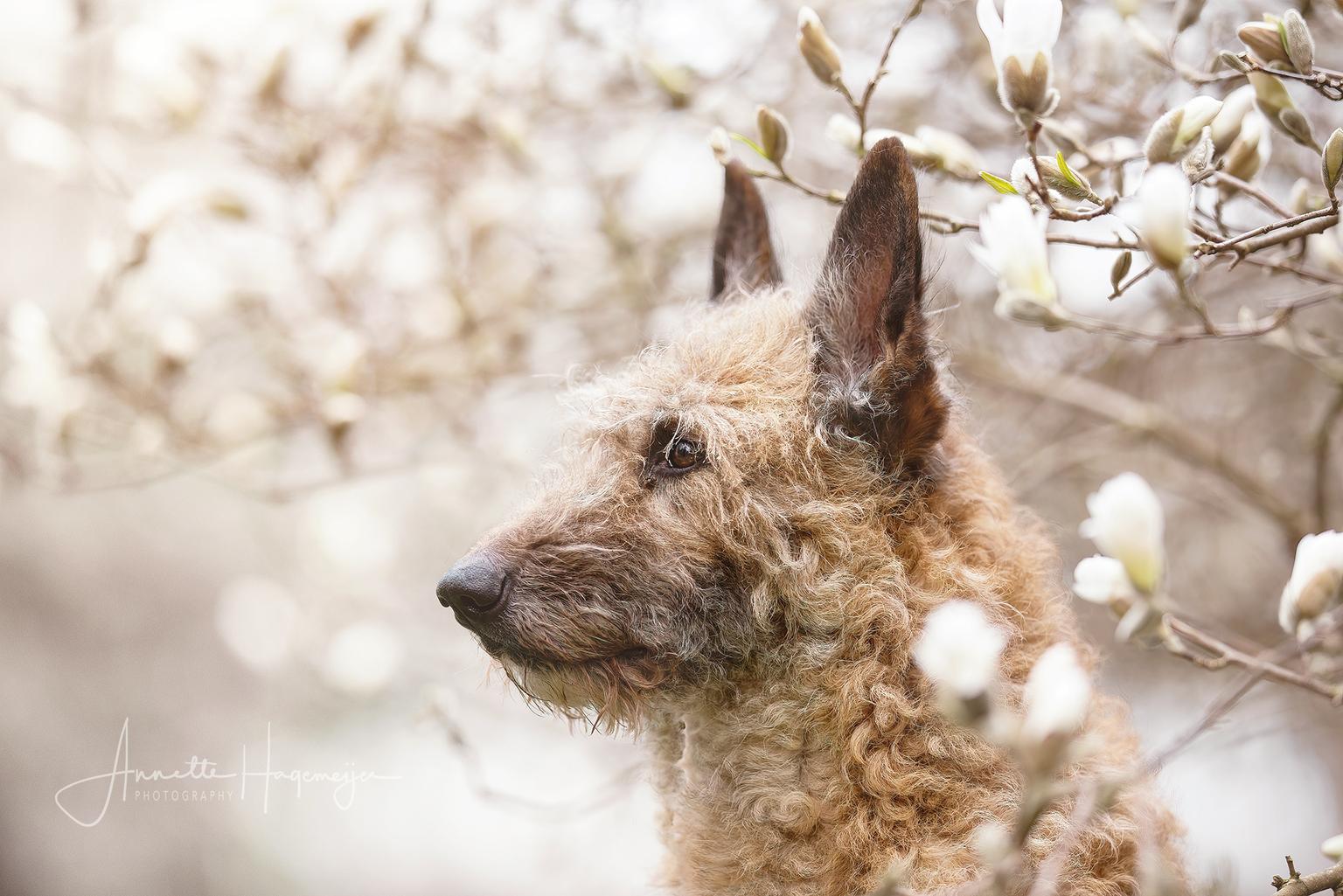 Sterre in de bloesem - Laekense herder Sterre poseert tussen de magnoliabloesems - foto door AnnetteHagemeijer op 13-04-2021 - deze foto bevat: laekense herder, hond, huisdier, bloesem, magnolia, lente, buiten, portret, hond, carnivoor, hondenras, takje, fawn, sneeuw, snuit, bakkebaarden, terrestrische dieren, fabriek