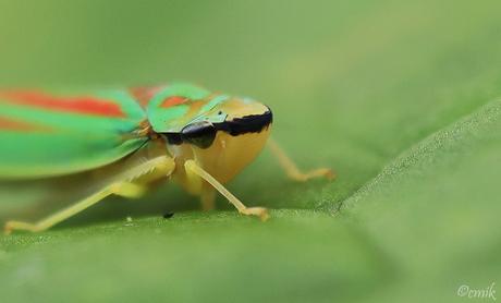 (Red)-Banded Leafhopper ♀