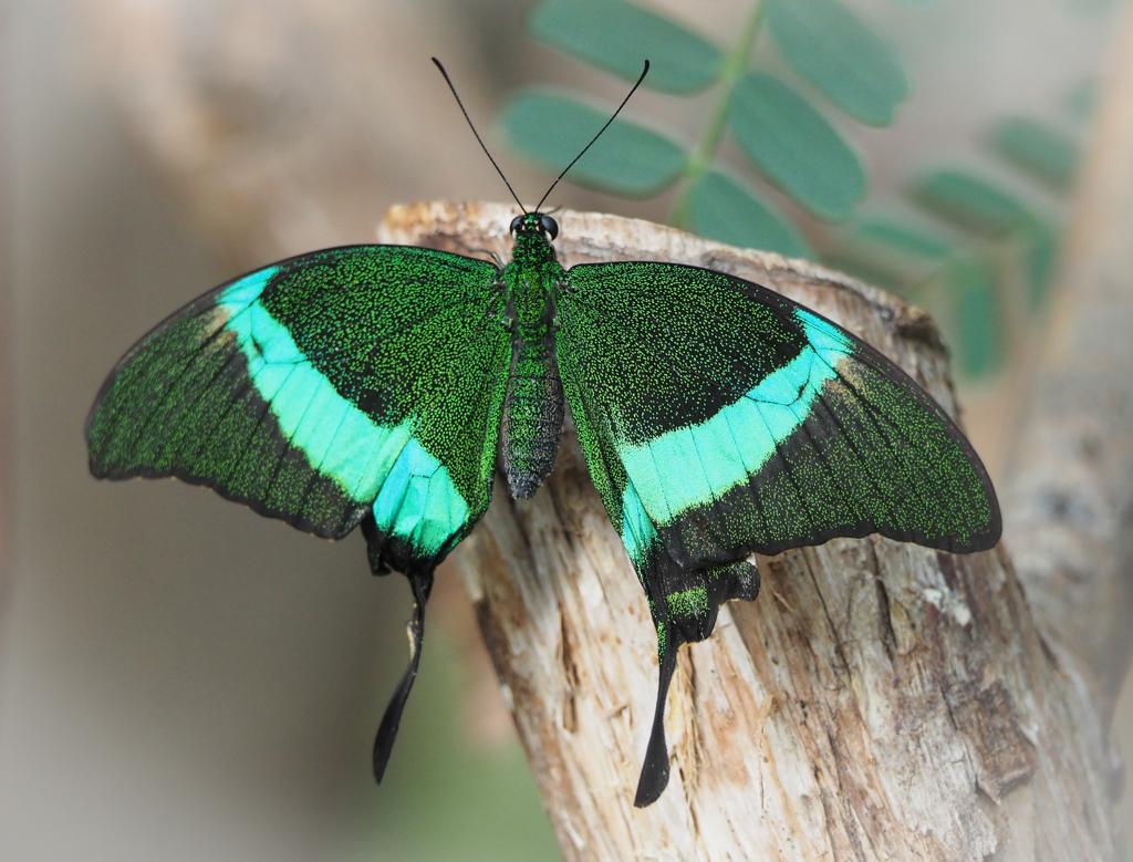 Exotische vlinder 1 - Deze vlinder was ik nog niet tegengekomen in Vlindorado. - foto door PhotoMad op 05-03-2019 - deze foto bevat: vlinder, butterfly, vlindertuin, tropische vlinder