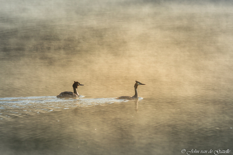 Grebe misty morning