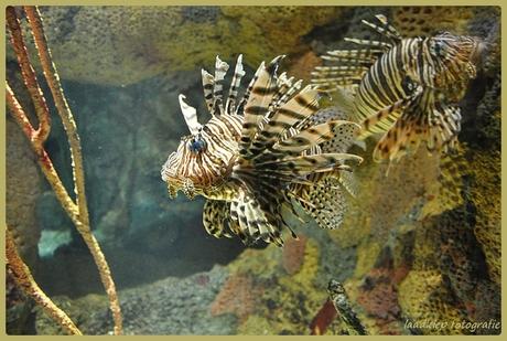 koraalduivels