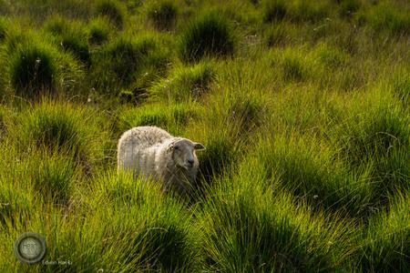 DSC_9315 - - - foto door edwin-hoek op 29-06-2018 - deze foto bevat: gras, groen, wit, schaap, grazen, Strabrechtse heide