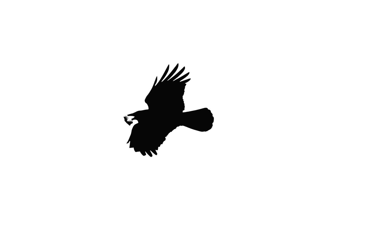 Stukje brood - Deze vogel met ik denk een stukje brood in de bek had wat weinig tekening . Vandaar gekozen voor een monochrome bewerking die alles geheel zwart of w - foto door PaulvanVliet op 11-04-2021 - deze foto bevat: zwart wit, monochroom, vogel, brood, noord aa, zoetermeer, bewerking, eten, vlucht, vogel, accipitridae, bek, zee arend, adelaar, falconiformes, veer, amerikaanse zeearend, lucht, roofvogel