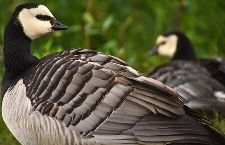 Nestje - Bij één van de wateren in het safaripark zag ik twee brandganzen, één zat er op een nest en in een flits zag ik kuikentjes onder de vleugels. Ben toe - foto door Tanneke op 31-05-2018 - deze foto bevat: lente, natuur, dieren, vogel, gans, voorjaar, watervogel, brandgans