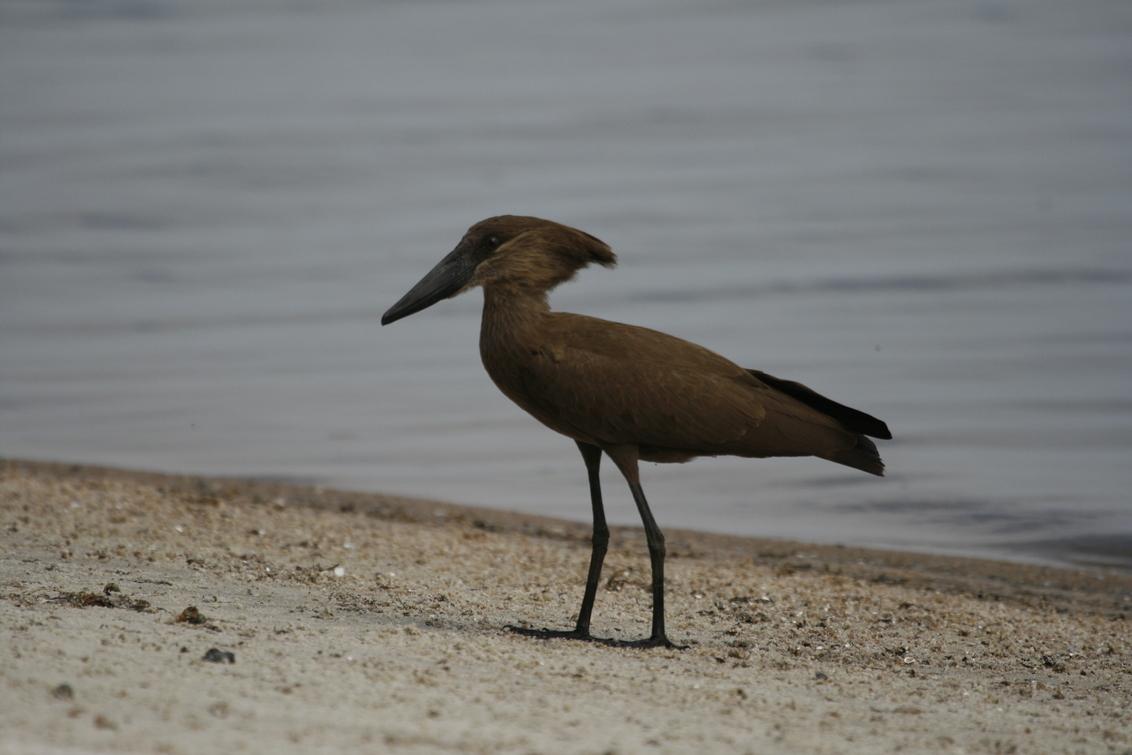 Hamerkop - De hamerkop is een bruine watervogel die ongeveer 60 cm groot wordt. Hij heeft een zwarte snavel en een dikke, rechte kuif, die hem zijn naam oplever - foto door dunawaye op 09-02-2009 - deze foto bevat: safari, vogel, afrika, tanzania, hamerkop, lake-victoria