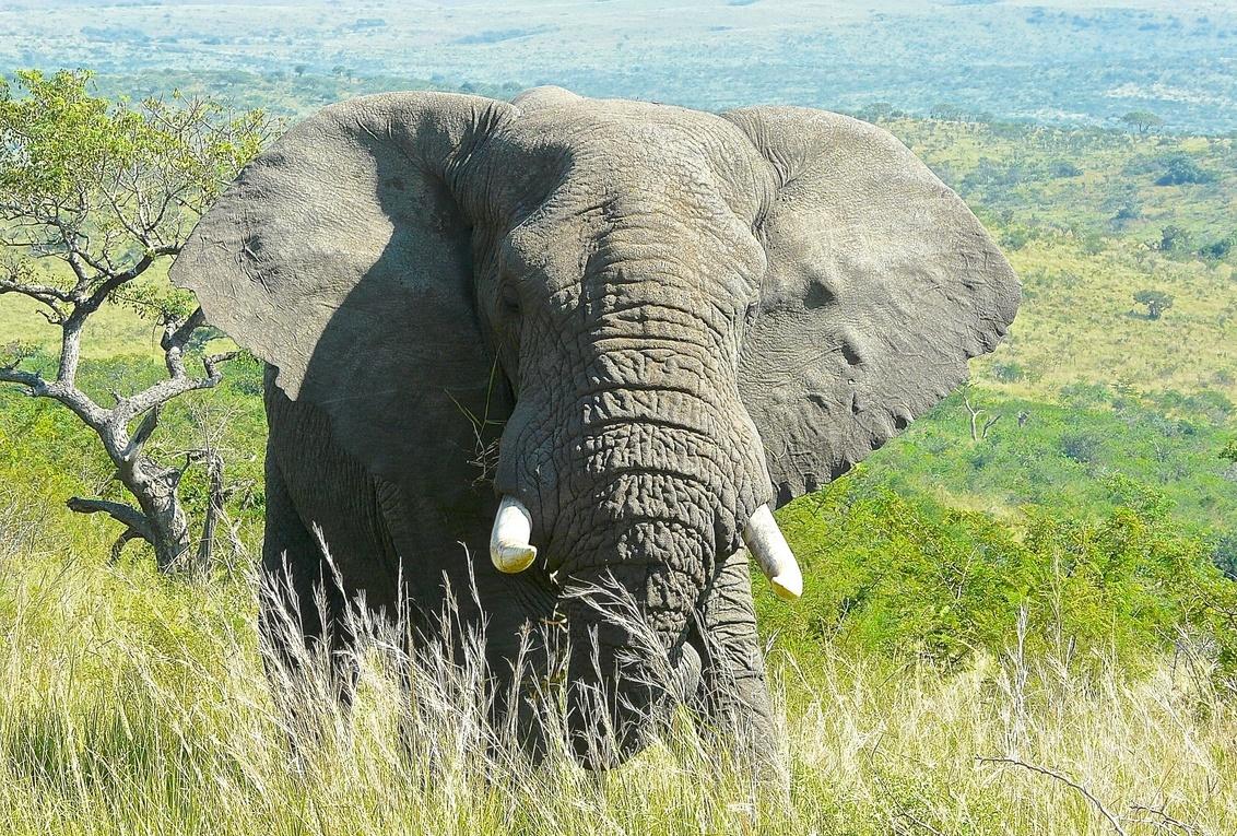 Olifant - Kruger National Park, Z-Afrika. - foto door Hans-Lejeune op 24-02-2015 - deze foto bevat: safari, olifant, krugerpark, zuid afrika, hans lejeune
