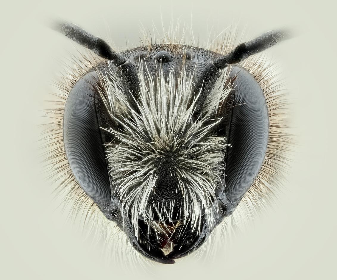 De wilde bij - - - foto door marcojongsma op 12-05-2020 - deze foto bevat: macro, wit, zon, natuur, bij, licht, zwart, tegenlicht, zomer, insect, dauw, micro, bijen, dof, bokeh, focusstacking, focus stacking, extreme macro, extrememacro