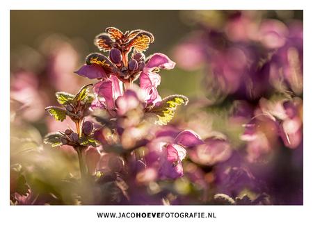 Tegenlicht. - Paarse dovenetel in tegenlicht. - foto door jacocanon op 18-04-2015 - deze foto bevat: macro, natuur, dovenetel, zonsondergang, tegenlicht, paarse, jacocanon