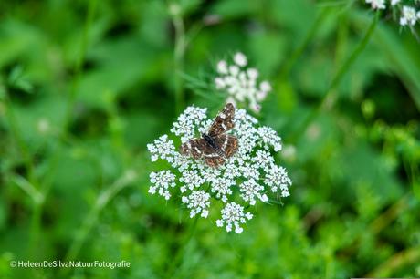 Vlinder in Nederland
