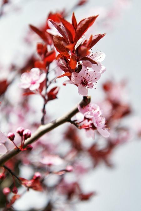 bloesem - Bloesem - foto door bernardfalkena op 15-03-2014 - deze foto bevat: roze, boom, lente, voorjaar, bloesem, tak