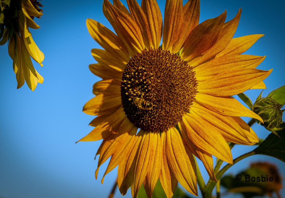 Zonnebloem - Deze foto is vorig jaar getrokken net voor het gouden uurtje. - foto door Bosbie op 11-04-2021 - deze foto bevat: zonnebloem, zomerweer, bloem, lucht, fabriek, bloemblaadje, blad, zonlicht, keuken, bloeiende plant, zonnebloem, kruidachtige plant