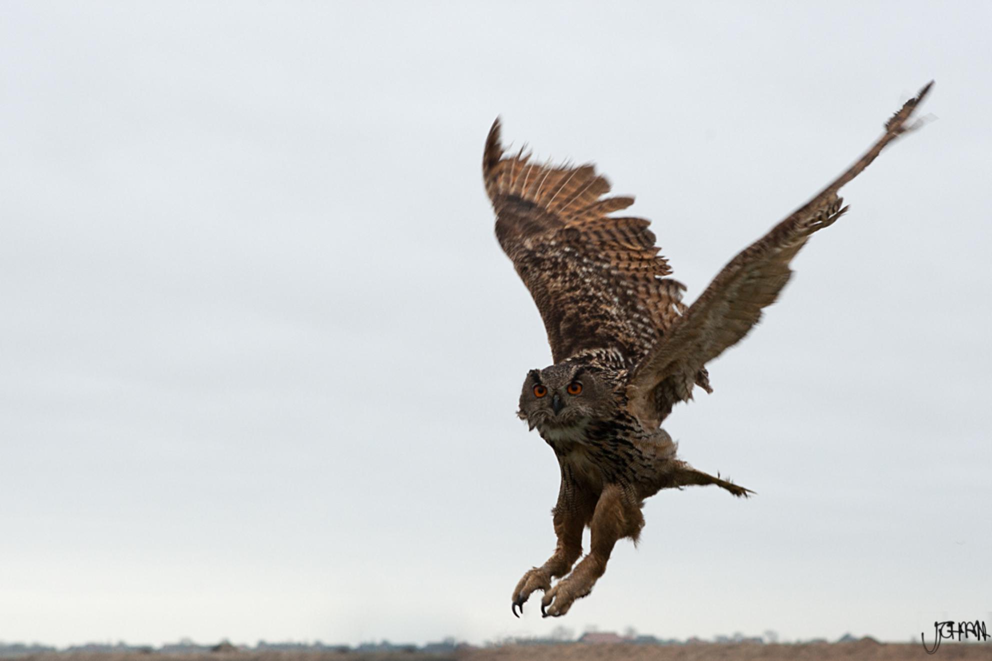Oehoe - Een 'vluchtfoto' van de Oehoe tijdens een roofvogel demonstratie.  Instellingen: 1/500; f 5,6; iso400, 70mm - foto door oostindienjp op 09-03-2013 - deze foto bevat: texel, oehoe, vlucht, vluchtfoto, roofvoegel