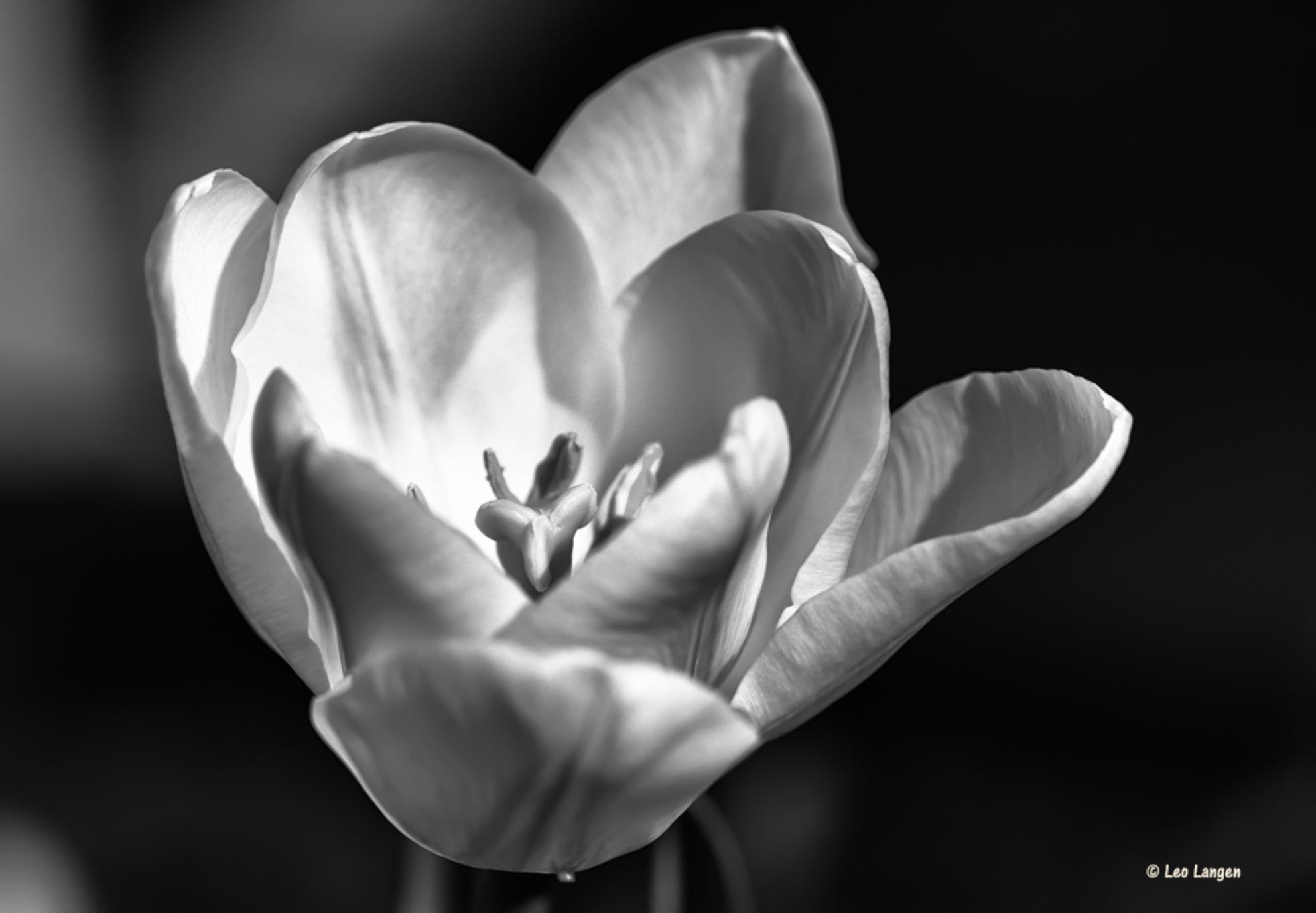 Witte tulp - Bedankt voor alle mooie reacties op mijn vorige foto. Blijft leuk om te lezen. Groetjes Leo - foto door Leo-Langen op 15-04-2020 - deze foto bevat: tulp, zwart wit, zwart wit fotografie, leo langen, 00051448 - Deze foto mag gebruikt worden in een Zoom.nl publicatie