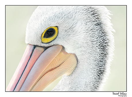 A different view of animals : The Pelican