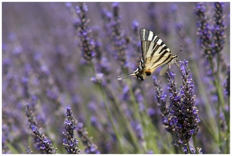 Vlinder in Lavendel01