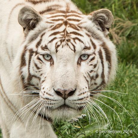 Witte tijger-0081