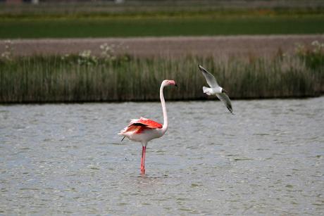 Flamingo Texel 2