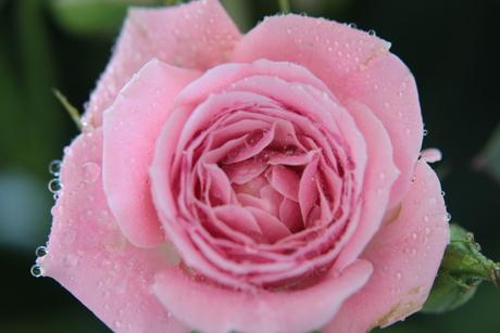 Roos. met een macrofilter gemaakt