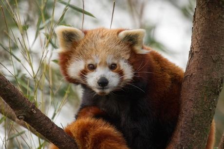 Kleine panda.