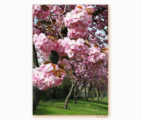 Roze bloesembomen