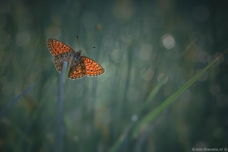 Ringoogparelmoer in de vroege ochtend - En bij deze wat meer de flares opgezocht, en een wat koeler effect. - foto door ErwinS op 31-05-2017 - deze foto bevat: groen, macro, zon, water, natuur, vlinder, druppel, geel, licht, tegenlicht, zomer, dauw, dof, bokeh