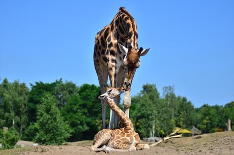 Moeder en dochter Giraffe