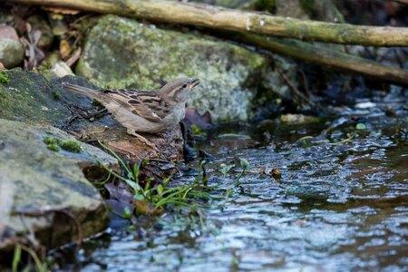 Huismus - Komt drinken bij de vijver - foto door bertus52 op 10-04-2021 - deze foto bevat: water, vogel, bek, vloeistof, hout, lichaam van water, waterloop, takje, gras, veer