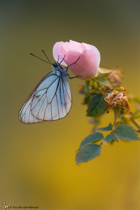 Romantisch - - - foto door nicolegardenier17 op 03-07-2019 - deze foto bevat: zon, vlinder, zomer, Groot Geaderd witje