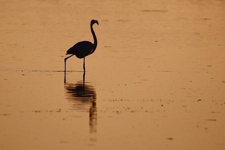 Golden Flamingo - Flamingo in het gouden uurtje in Zuid-Holland - foto door helga.teunissen op 10-04-2021 - locatie: 3244 Battenoord, Nederland - deze foto bevat: water, vogel, bek, veer, meer, watervogels, vleugel, landschap, zeevogel, zoetwatermoeras