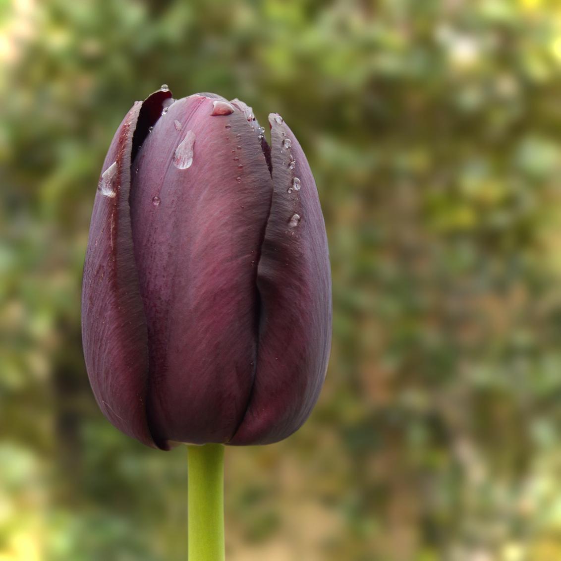 Tulp - Dit leek mij een bijzondere tulp, fris, zeldzame kleur... de druppels achtergebleven van een van de vele buien waar we op getrakteerd werden waren ei - foto door kosmopol op 03-05-2012 - deze foto bevat: tulp, druppels, kosmopol